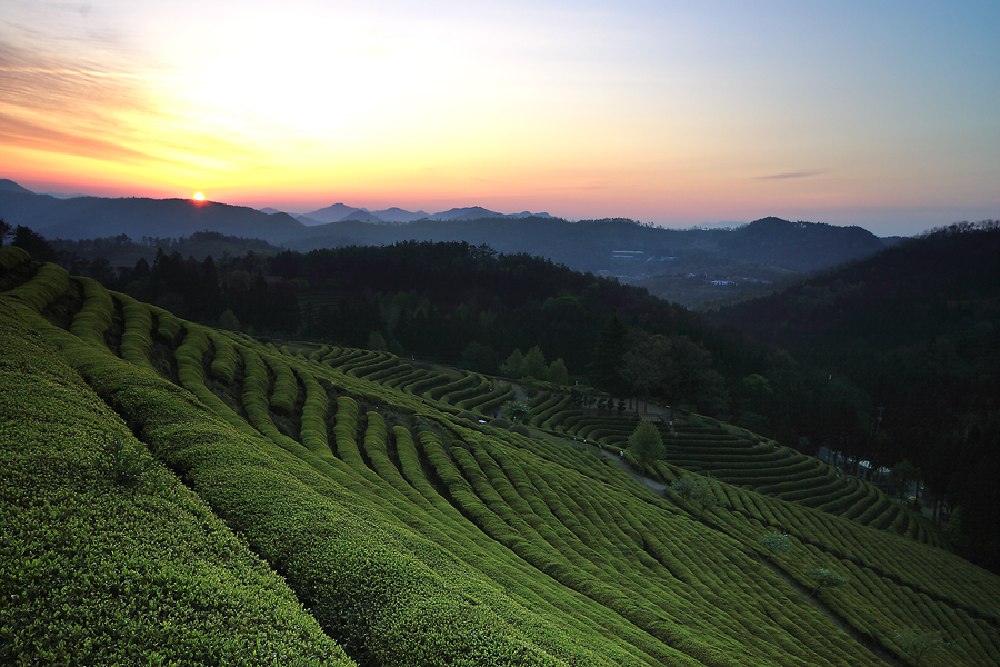 a Field of Green-Tea