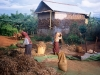 Women threshing